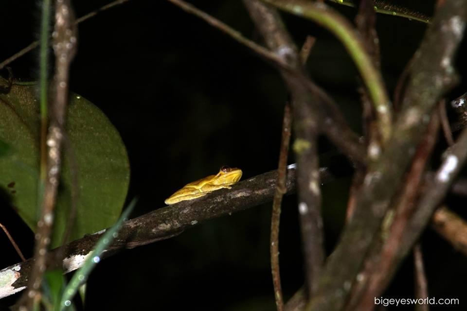 Tlacohyla loquax