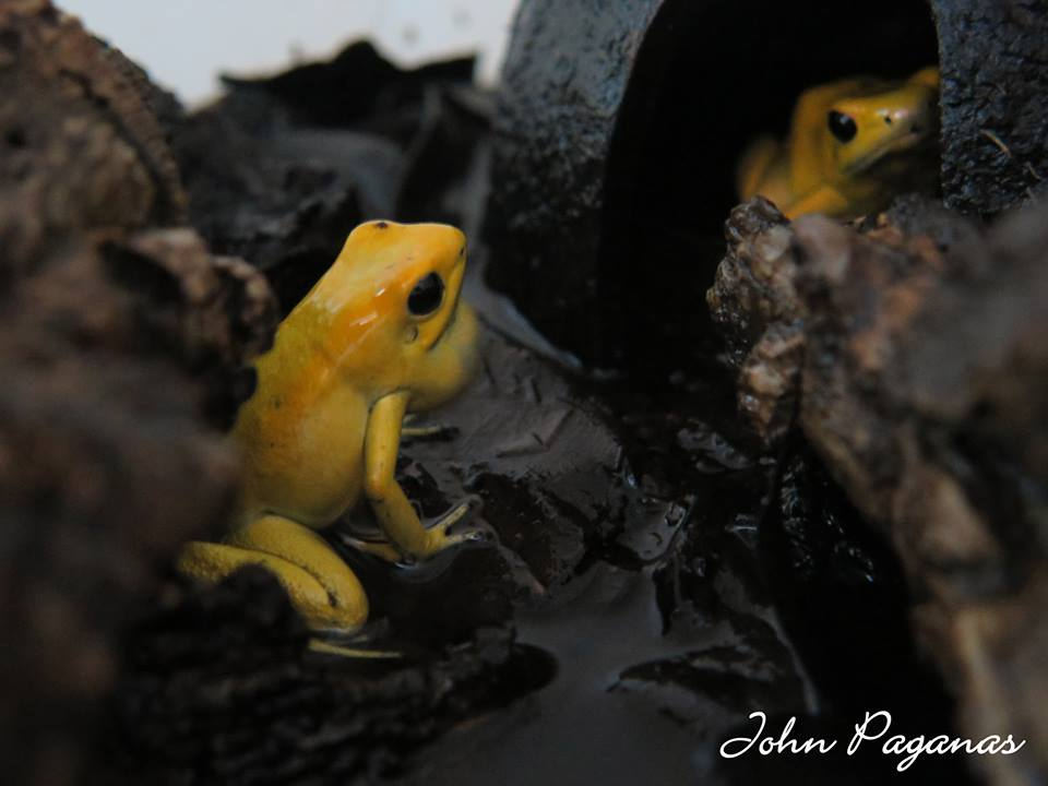 Yellow Terribilis