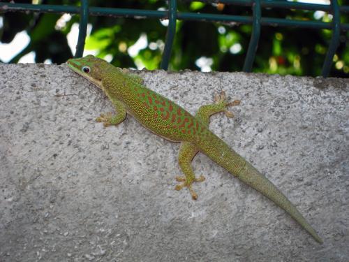 672_Phelsuma_dubia-Zanzibar_Day_Gecko-Dull_Day_Gecko