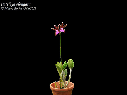 Cattleya elongata