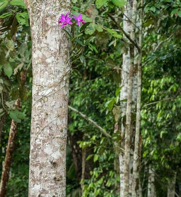 Cattleya violacea in situ
