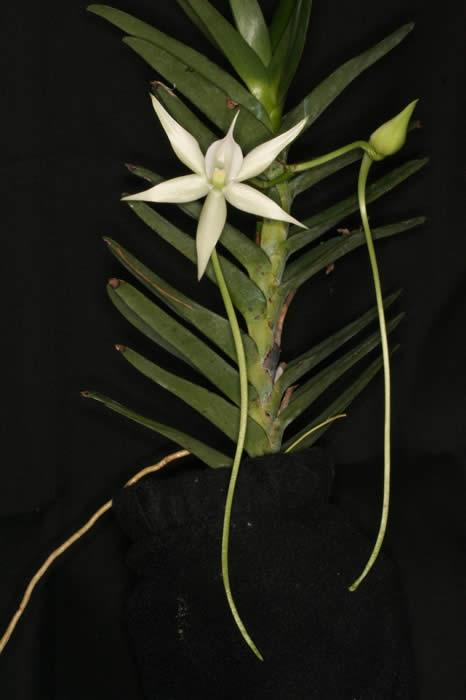 Angraecum_florulentum