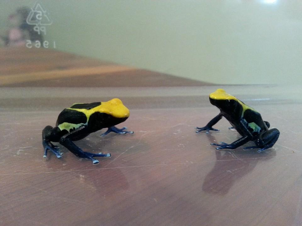 Brazilian Yellow Head Tinctorius morph. 2