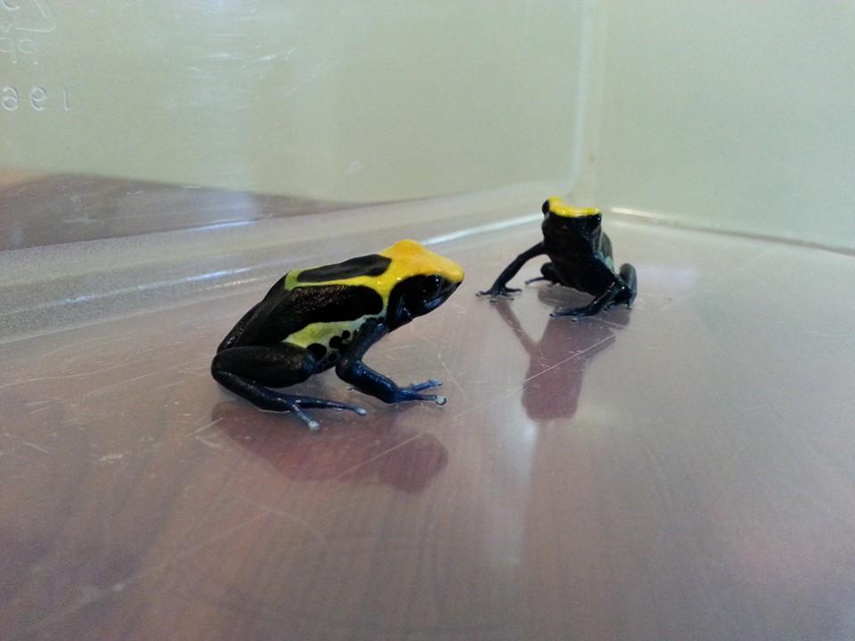 Brazilian Yellow Head Tinctorius morph. 3