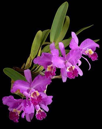 Cattleya leuddemanniana 'Dark' x 'Tina'