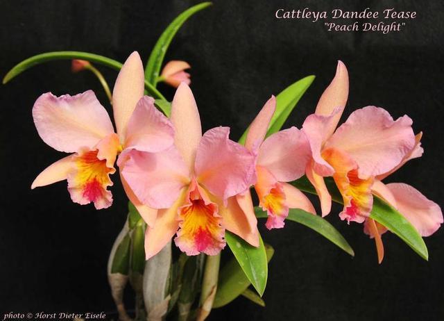Cattleya Dandee Tease -Peach Delight-.preview