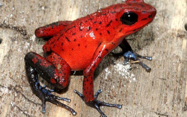 Oophaga pumilio black jeans Siquirres (Strawberry Poison Dart Frog) – Costarica
