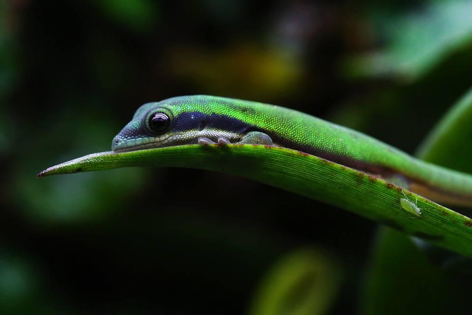 Phelsuma nigristriata 2