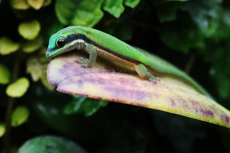 Phelsuma nigristriata 4