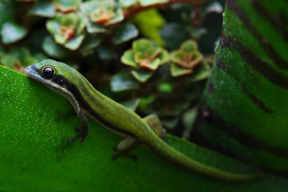 Phelsuma nigristriata