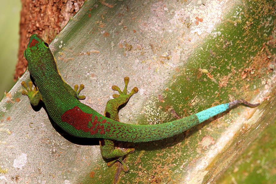 Phelsuma_Antanosy_Andasibe_Madagascar