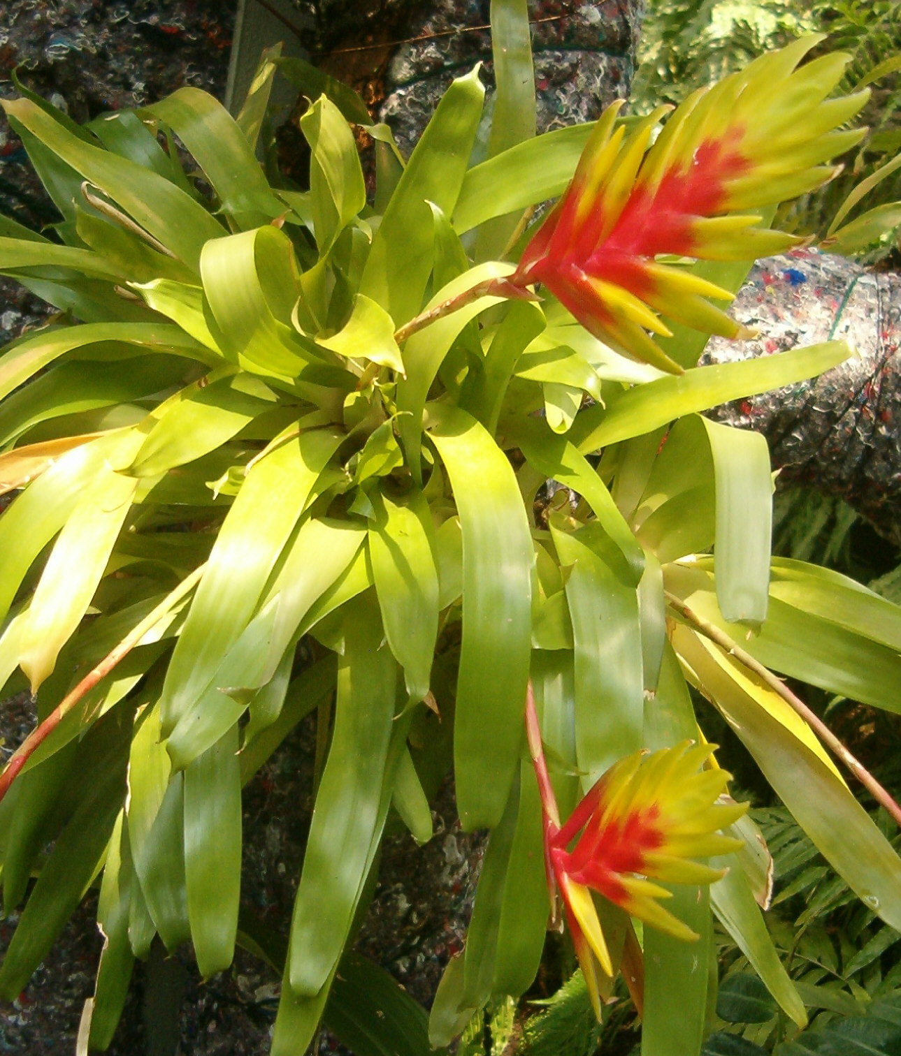 Vriesea_carinata_BotGardBln07122011A