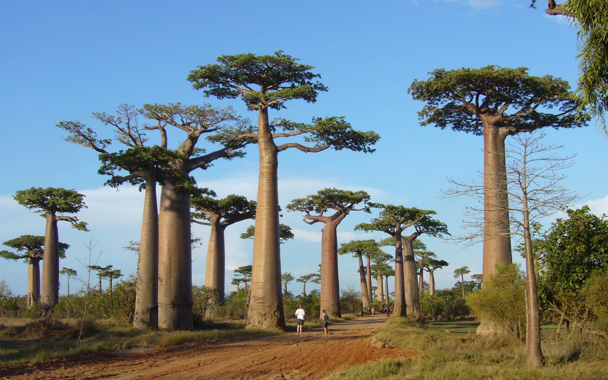 foresta-di-baobab-madagascar