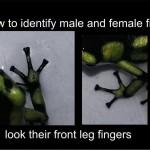 Come identificare il sesso delle Dendrobatidi guardando le dita delle loro zampe anteriori.