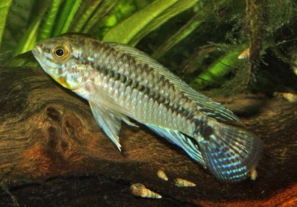Apistogramma_commbrae_male1