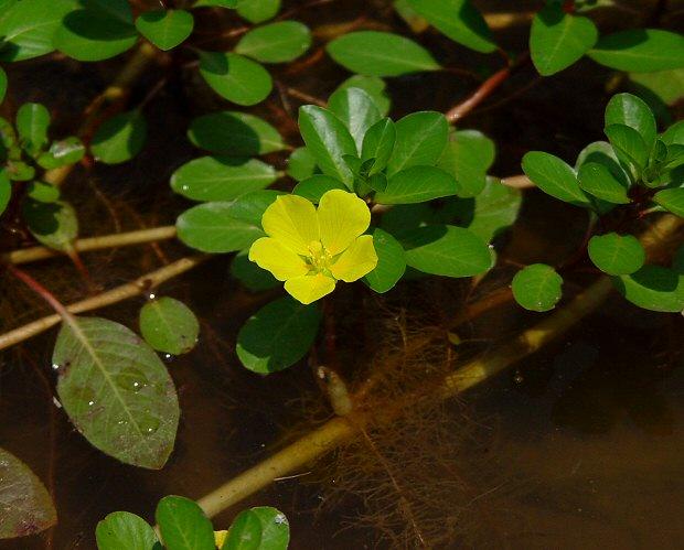 Ludwigia_peploides_plant