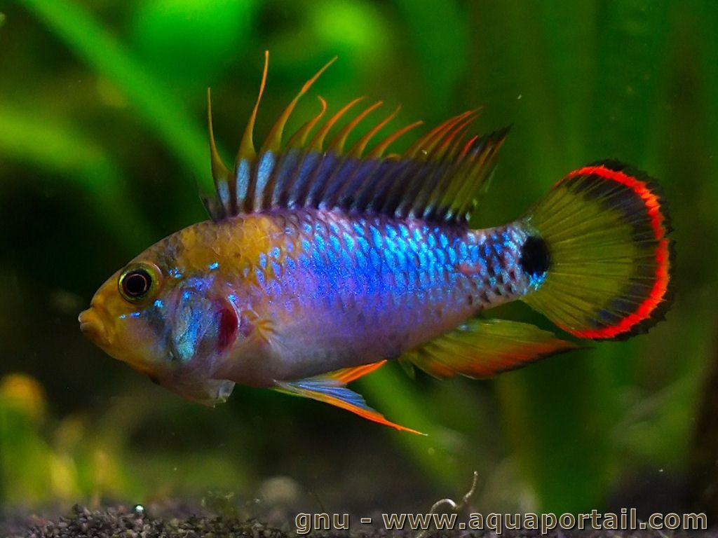 apistogramma-baenschi-male-colore