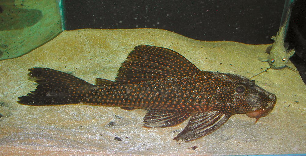 hypostomus_sp_iguazu