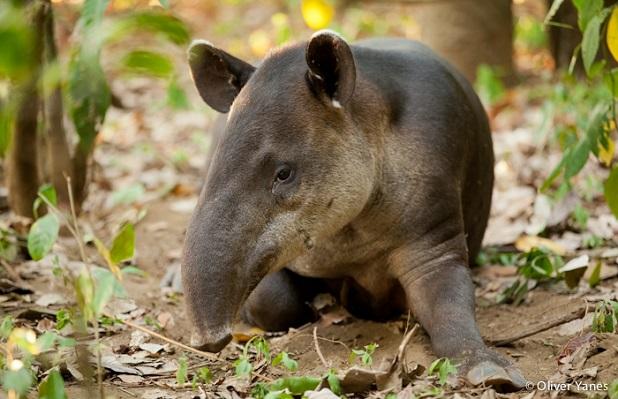 tapiro-