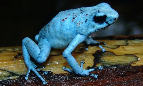 Oophaga histrionica – morph blue