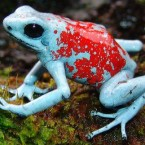 The harlequin poison frog (Oophaga histrionica) morph KOI
