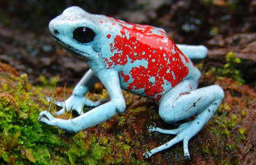 The harlequin poison frog (Oophaga histrionica)