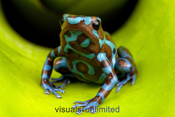 Blue and brown poison frog, Central America