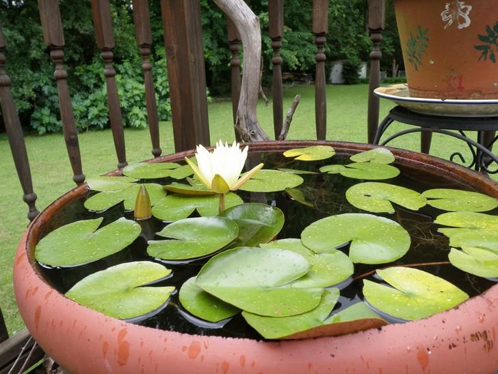 Giardino acquatico in vaso come realizzare un mini pond for Mini pond con pesci