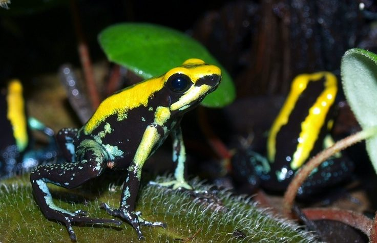 """The colombian toxic trio"": Phyllobates aurotaenia, P. terribilis e P. bicolor"