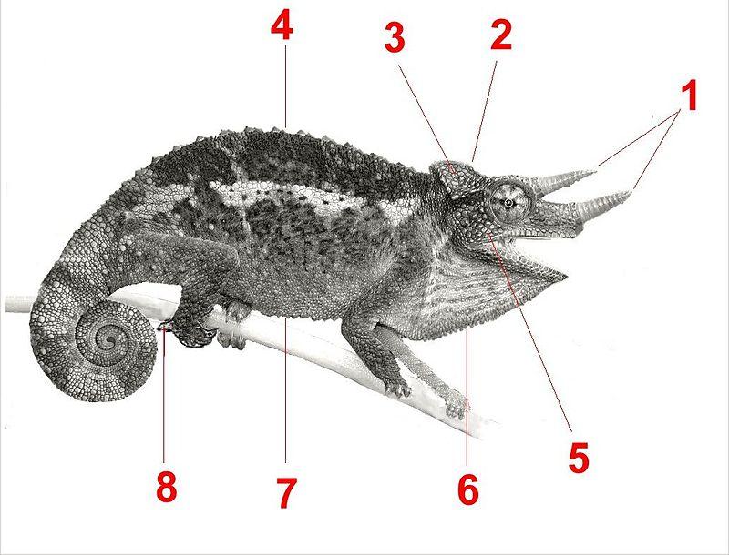 Chamaeleonidae_anatomy