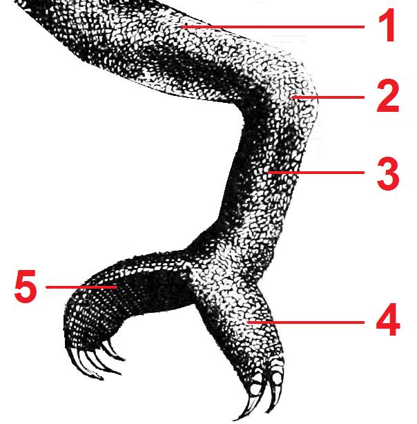 PSM_V06_D545_Chameleon_leg_tagged
