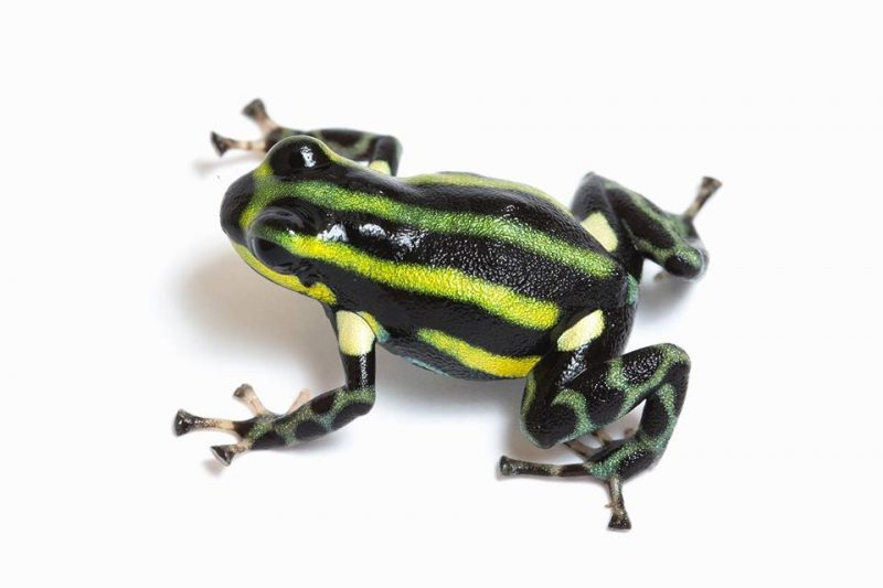 "Ranitomeya sirensis ""Green"""