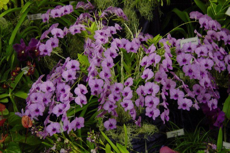 ORCHIDEE – DENDROBIUM