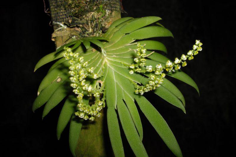 ORCHIDEE: ORNITOCEPHALUS