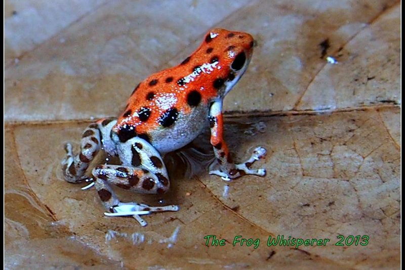 The Red Frog Story – Frog Documentary – Oophaga pumilio – Bastimentos Island, Panama