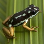 Ranitomeya yavaricola