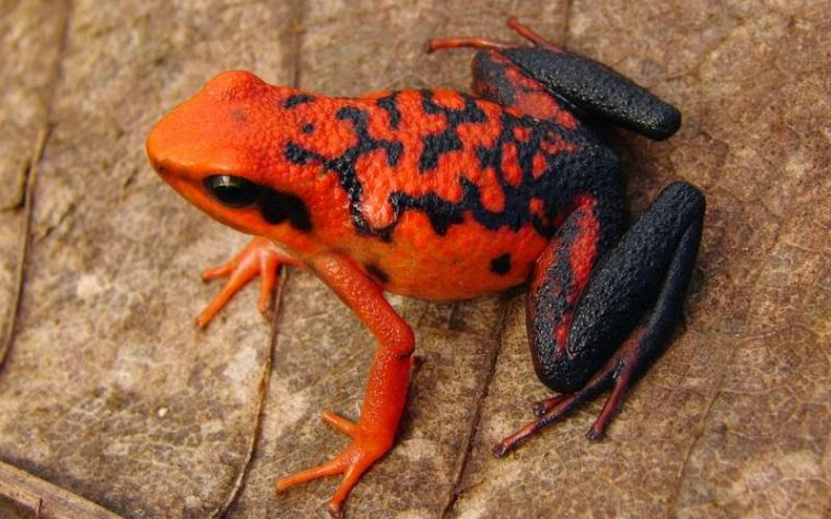 Poison Dart Frogs, The Documentary