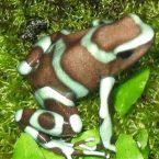 Dendrobates auratus Green & Bronze