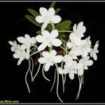 MINI ORCHIDEE: AMESIELLA MONTICOLA