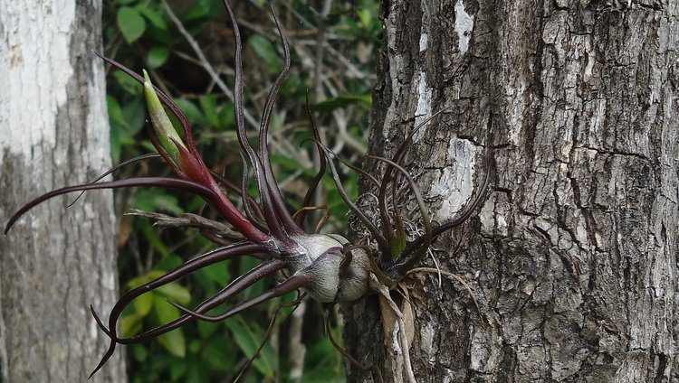 The Ant-Farming Tillandsias