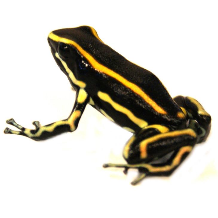 truncatus-yellow2