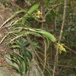 Specie di orchidee in situ, Salinas, Puerto Rico