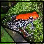 Ranitomeya reticulata Iquitos