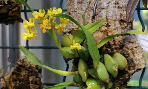 ORCHIDEE: ONCIDIUM