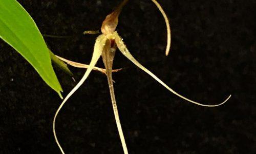 MINI ORCHIDEE: Pleurothallis tetrachaeta
