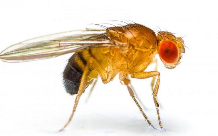 Allevamento Drosophila melanogaster e D.hydei