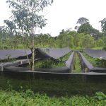 Wikiri O.sylvatica farm