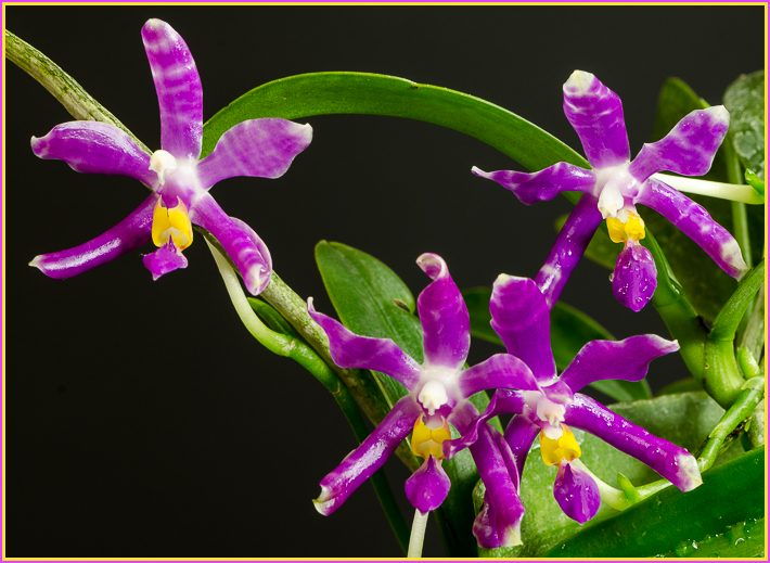 Tecnica di coltivazione delle orchidee