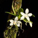 Amesiella minor