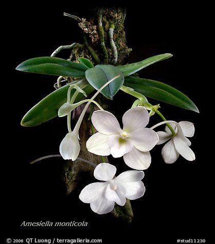 Amesiella monticola